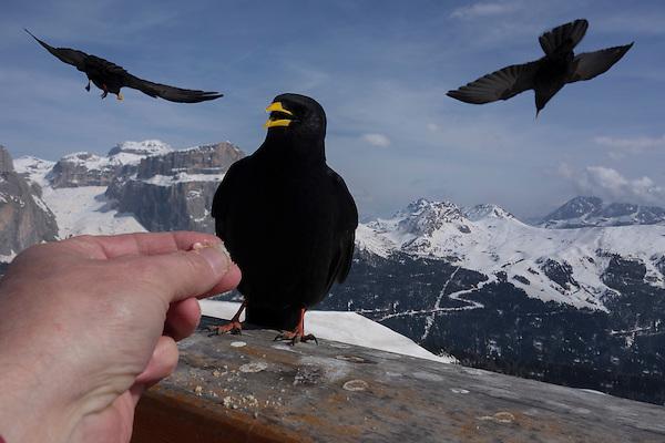 Crows at Col Rodella Ski Area, Canazei, Italy.  John leads private, wildlife photo tours throughout Colorado.