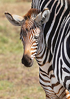 Young Zebra and Mom