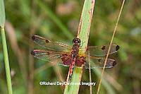 06578-00307 Calico Pennant dragonfly (Celithemis elisa) male, DuPage Co, IL