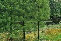 Pine Trees and Pond, Strawbridge Lake, Moorestown, New Jersey