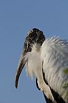 A Wooid Stork, Mycteria americana, Everglades National Park, Florida
