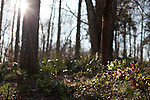 February 2, 2012. Hillsborough, NC.. A pink hellebore soaks up late afternoon sun in the woods surrounding the Goodwin property..  Nancy Goodwin, who used to run a mail order nursery for rare bulbs, has now preserved her gardens, which in winter, have thousands of blooming flowers and plants, including many rare species which she has cultivated and planted from seeds.