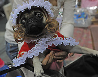 A bulldog dressed in a bonnet and wig at the Osaka Pet Expo and fashion show, Osaka, Japan.<br /> 25-Sep-11<br /> <br /> Photo by Richard Jones