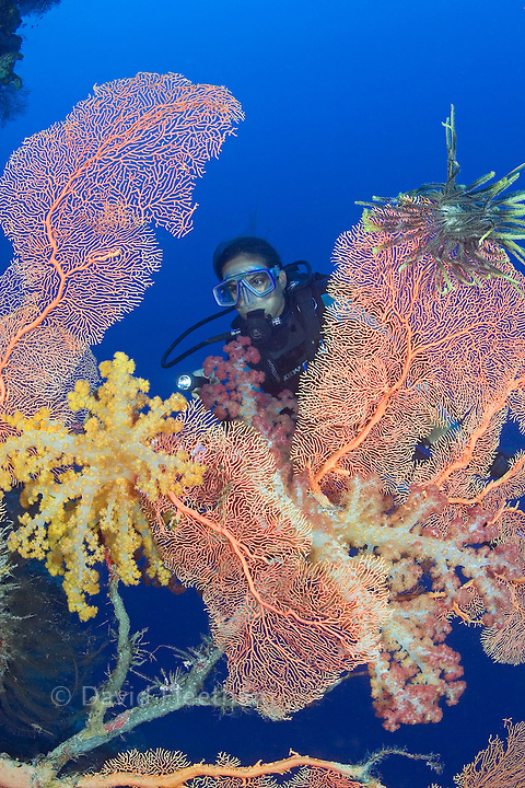Gorgonian and alcyonarian coral dominates this reef scene with a diver (MR). Indonesia.