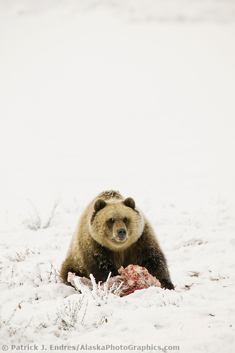 Grizzly bear feeds on the carcass of a caribou on the snow covered tundra, Arctic coastal plains, Alaska