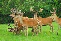 Farmed Red deer stags Deer Park, Old Stoddah, Cumbria.
