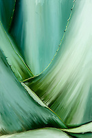 Agave painting. Green and sensual painting of agave plant. Following lines leading to a central focus point.<br />