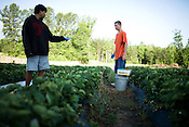 May 29, 2008. Apex, NC..Buckwheat Farms, a pick your own strawberry farm.. Nathan Yonk and Chris Kanady discuss the crop as they pick strawberries for a local school order.