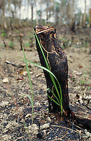 Palm grows from a burned stump in the Amazonas rain forest. Environment, conservation, pollution, ecology. Manacapuru Amazonas Brazil The Amazon.