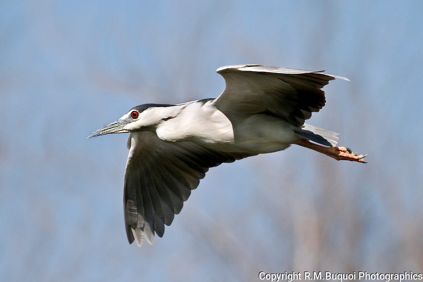Black-crowned Night-Heron in Flight