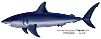 Shortfin mako shark, Isurus oxyrinchus, illustration by the artist Wyland