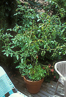 Cherry tomatoes Supersweet 100 growing in container pot vegetable garden on deck in backyard showing large plant with green and some red tomato, with basil herb at base