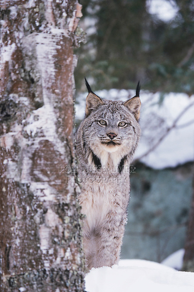 Canadian Lynx (Lynx canadensis), adult in snow, captive, USA