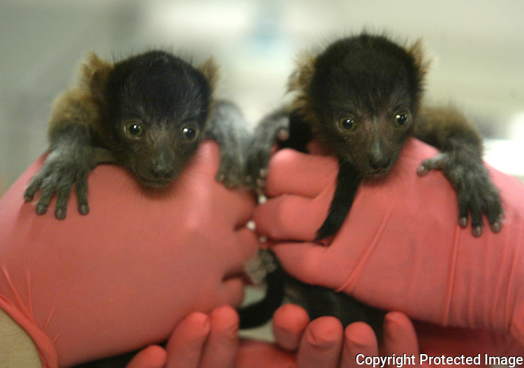 Woodland Park  Zoo workers hold a pair of baby Lemurs that were born April 4. The lemus, weighing  between 170 to 180 each are being taken care of round-the-clock by zookeepers and animal health staff. Jim Bryant photo