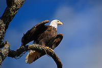 Courtesy photo/TERRY STANFILL<br /> Bald eagles are one of Stanfill's favorite birds to photograph. When taking pictures of wildlife, Stanfill may shoot a few pictures from a distance, then gradually move closer.