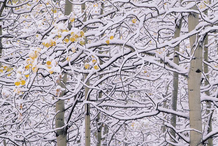 aspen trees in the fall covered with snow