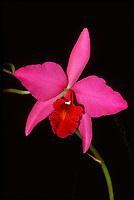 Orchid hybrid: Laeliocattleya Coastal Sunrise 'Tropico', HCC/AOS aka Sophrolaeliocattleya Coastal Sunrise 'Tropico', HCC/AOS. (Cattleya type) hybrid of Laelia anceps x C. Helen Velez, 1987