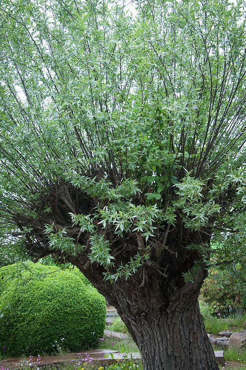 Pollarded White Willow (Salix alba). The Laurent-Perrier Chatsworth Garden designed by Dan Perarson, RHS Chelsea Flower Show 2015.