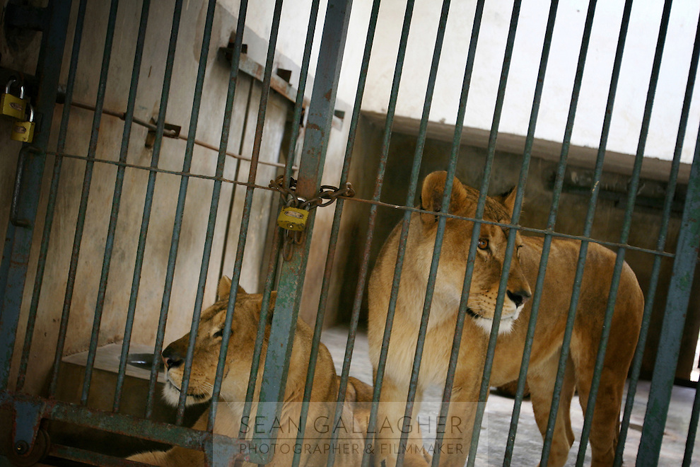 CHINA. Hubei Province. Wuhan. Lions in an enclosure in Wuhan zoo. In many of China's 'second-tier' cities, away from the modern zoos in the megacities of Beijing and Shanghai, hide a plethora of smaller unknown zoos. In these zoos, what can only be described as animal abuse is subtly taking place in the form of deprivation of light, space, sanitation and social contact with other animals. Living in awful conditions, these animals spend there days entertaining tourists who seem oblivious to the animals' plight and squalid existence. 2008..