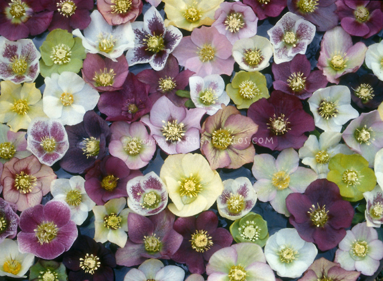 Mixture of Hellebores, Helleborus hybridus - mixed single and anemone-centered