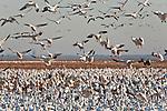 Snow geese (Chen caerulescens) feeding in cornfield, Pocosin Lakes National Wildlife Refuge