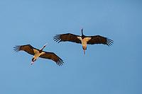 Black Stork - Ciconia nigra