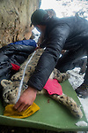 Snow Leopard (Panthera uncia) biologist, Shannon Kachel, measuring body length of male during collaring, Sarychat-Ertash Strict Nature Reserve, Tien Shan Mountains, eastern Kyrgyzstan