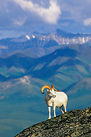 Dall sheep ram stands atop a rock outcrop on a mountain ridge in the Alaska Range, Denali National Park, Alaska