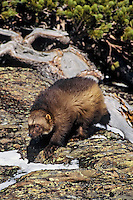 Wolverine on hillside just south of East Glacier, Montana.