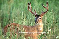 01982-025.15  White-tailed Deer (Odocoileus virginianus) 11-point buck in velvet, TN