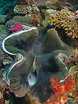 Ulong Channel, Palau -- Giant clam.