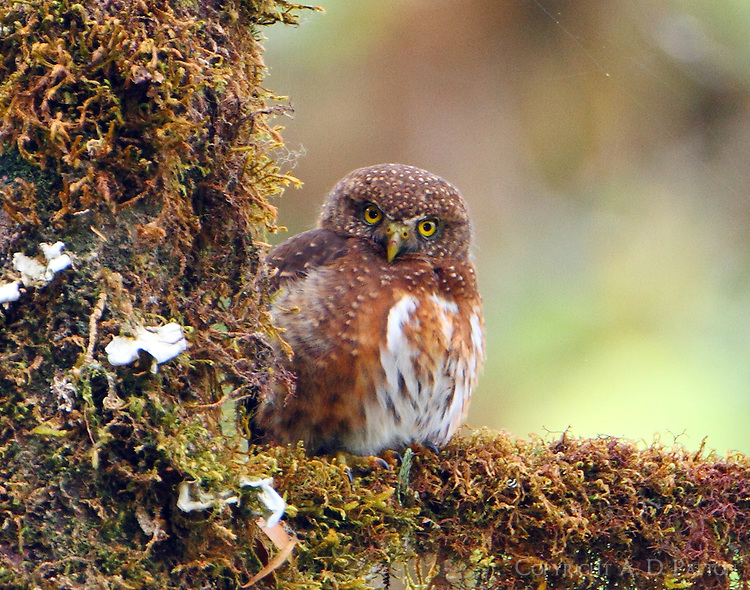 Costa Rican pygmy-owl. This little owl flew directly over my head no more than a foot away as it flew to capture a lizard.