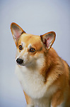Pembroke Welsh Corgi in the studio Shopping cart has 3 Tabs:<br />