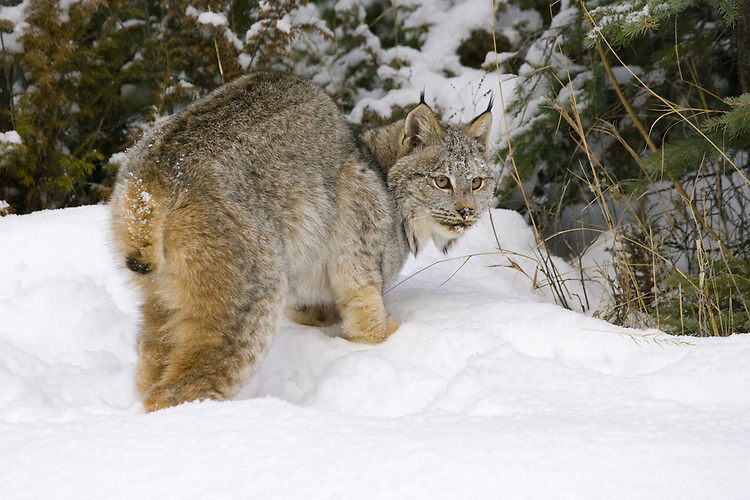 Canada Lynx watching over its shoulder while standing in the snow - CA