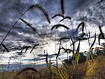 Americana.<br /> <br /> Grasses at sunset, Dayton, Ohio.