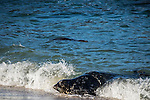 California Leopard Seal surfing at beach in La Jolla, San Diego California.