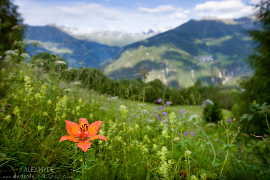 Fire lily {Lilium bulbiferum} in flower, wide angle view showing meadow habitat. Nordtirol, Tirol, Austrian Alps, Austria, 1700 metres altitude, July.
