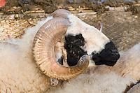 Tripoli, Libya - Sheep, Ram, awaiting Sacrifice at the Eid al-Adha.