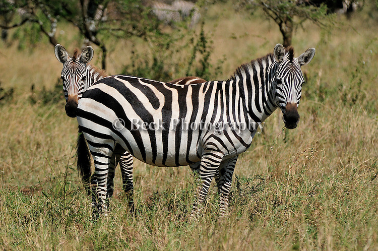 Two zebras stand while grazing on the Serengeti in Africa.