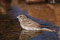 Brewer's Sparrow, Spizella breweri, adult bathing,Tucson, Arizona, USA, September 2006