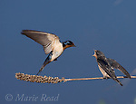 Barn Swallows (Hirundo rustica), adult in flight approaching to feed fledgling, Ithaca, New York, USA<br /> Digitally retouched background (distractions removed)
