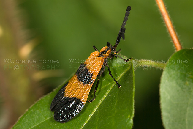 Banded Net-wing Beetle (Calopteron reticulatum,  West Harrison, Westchester County, New York