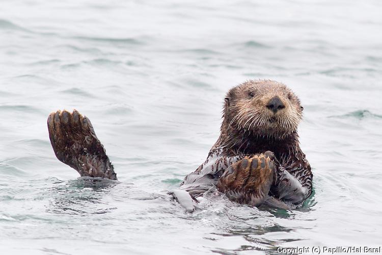 Southern Sea Otter also called California Sea Otter.(Enydra lutris).Elkhorn Slough near Monterey, California