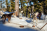 USA, Oregon, Bend, the sled dogs waiting to go out for a ride at Mt. Bachelor