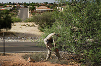 BORSTAR agent Karl LaFevre (cq) and his dog Cargo (cq) search brush for unidentified migrants near a housing development in Green Valley along Interstate 19 in Tucson, Arizona, Friday, June 5, 2009. The housing development serves as a final drop off and pick up point for migrants traversing the desert to the United States through Mexico...PHOTOS/ MATT NAGER