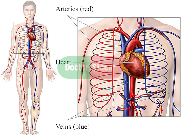 This medical exhibit pictures the primary circulatory system anatomy within the male body from an anterior (front) view. A detailed box enlargement of the thorax and upper abdomen clearly reveal the heart, major arteries and veins. Labels identify the heart, arteries (red) and veins (blue).