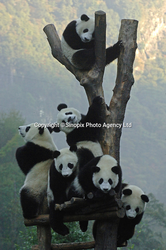 Panda cubs are crowded onto a tree in their play pen at the Wolong Panda Research Base in Sichuan, Western China..