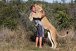 Botswana, Kalahari, Valentin Gruener embracing a lioness he raised on a private reserve from a small dying cub to a healthy adult