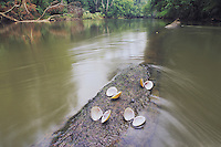 Freshwater mussel (Unionoida), on log in river, Neuse River, Raleigh, Wake County, North Carolina, USA