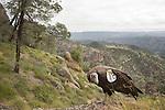 California Condor (Gymnogyps californianus) three year old male in chaparral, Pinnacles National Park, California